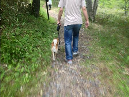 柴犬さくらとお散歩