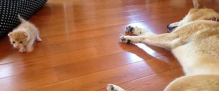 柴犬さくらと迷子の子猫