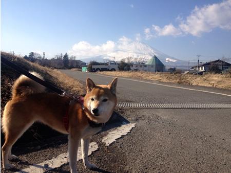 2014富士山と柴犬さくら