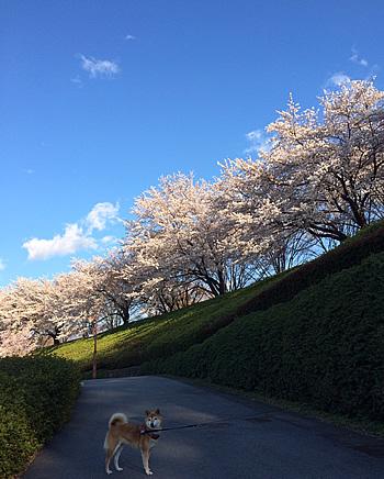 柴犬さくらと満開の桜