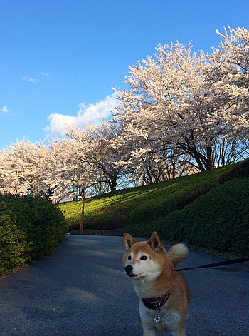 柴犬さくらのお花見