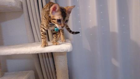 ベンガル猫のひかるちゃん♪
