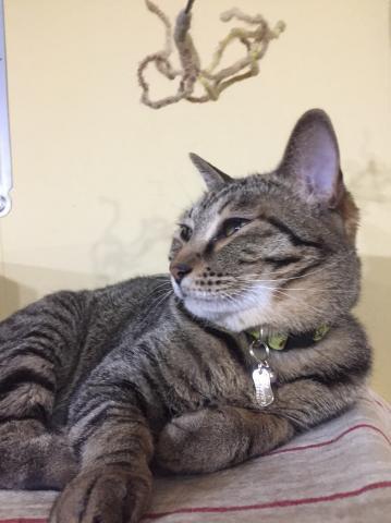 ひわちゃちゃん♪猫の舌S迷子札